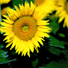 rdprice29: (sunflower)