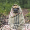 dapatty: A pug dog wrapped in a plaid blanket. (Default)