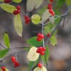 bluemeridian: Bright red autumn olive berries (Default)