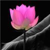 lotusinthebox: (lotus 2)