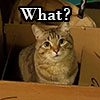 """tsaiko: Brown cat in brown box staring at camera with the word """"What?"""" above him. (cat in box, what)"""