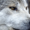 amovingtarget: close up of a wolf's head (wolf)