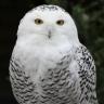siduri1959: (Owl)