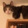 cygna_hime: a grey tabby cat sitting atop a bookshelf (purrcy)