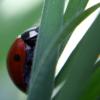 freshbakedlady: macro photograph of ladybug climbing a blade of grass (garden)