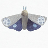 falena: illustration of a blue and grey moth against a white background (freema squee)
