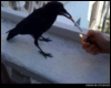 clnewton: (Smoking Crow)