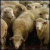 firecat: sheep (sheep)