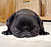 firecat: pug dog lying on carpet looking resigned (pissypug)
