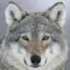 wolf_of_lilacs: Wolf dusted with snow (pic#12861648)