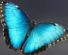 alephnul: Photo of blue morpho butterfly (Default)