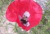 zou2: (poppy)