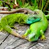 snake_socks: lizards cuddling (wasseragamen)