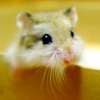 thirteenie: Hamster with its head sticking out of some place (maybe a box) (Hamster)