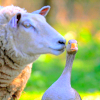 "thirteenie: A sheep ""kissing"" a goose (Sheep kissing goose)"