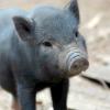 thirteenie: Black piglet (Black piglet)