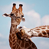 thedreamisreal: (Stock: Animal → Giraffes)