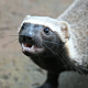 sciatrix: A grison, a black-and-white large weasel rather resembling a honey badger, looks up at the camera with eyes wide in excitement. (grison)