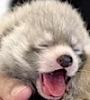 firecat: yaning baby panda (red panda baby yawny)