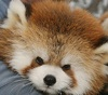 firecat: red panda (red panda cute nose)