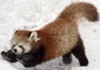 firecat: jumping red panda (red panda playful)