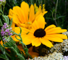 dragonlady7: Two black-eyed susan flowers against a backdrop of yarrow flowers (flowers)