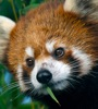 firecat: red panda (red panda bamboo mouth)