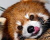 firecat: red panda licking lips (red panda nom)