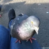"alchemistdoctor: A pigeon sitting on my leg. He's giving you a look that says ""give me the food or I will shit on you."" (Default)"