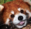 firecat: red panda looking happy (sparkly hello kitty)