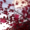 emma_moon: (Cherry Blossoms-Spring)