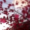 emma_moon: (Red Cherry Blossom)