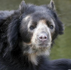 mdlbear: a rather old-looking spectacled bear (spectacled-bear)