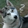 sanalith: (Husky Dog - Question)