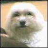 euangelias: A Maltese dog  (Fifi)
