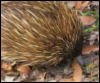 mesotablar: Echidna on leaves (Default)
