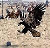 theodosia: (eagle)