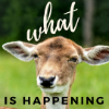 nerakrose: confused looking deer with the text what is happening (what is happening)