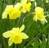 elke_tanzer: spring daffodils closeup (spring daffodils closeup)