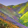 dwgm: (California Wildflowers)