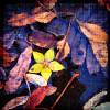 naye: a photo of a yellow flower floating in a puddle with dead leaves (höstblomma)