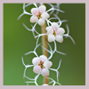 coprime_writes: small, white flowers (Default)
