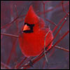 sheron: (03 red cardinal)