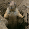 evilawyer: young black-tailed prairie dog at SF Zoo (Evilawyer)