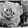 sangre_fria: (White rose)