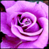 lavendertook: lavender rose (lavender rose, first prize)