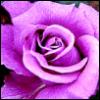 lavendertook: lavender rose (lavender rose)