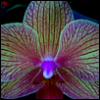 lavendertook: fuschia veined yellow orchid (orchid)