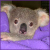lavendertook: koala joey wrapped in lavender blankey (koala baby)