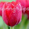 camkin: (tulips)